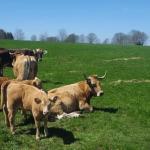 Les vaches regardent passer les trails!